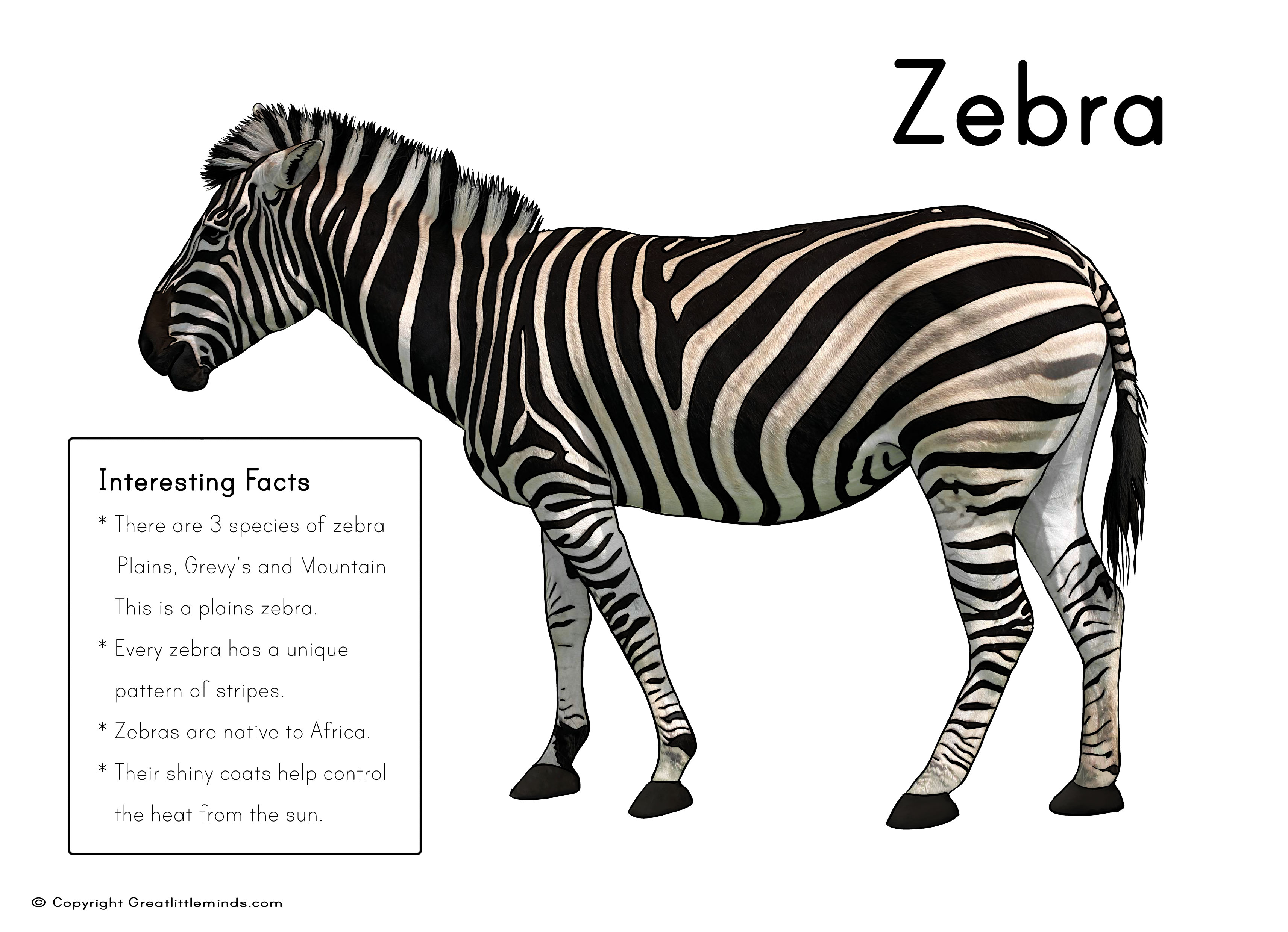 Free coloring pages of zebra stripes - Zebra Picture With Fact Box
