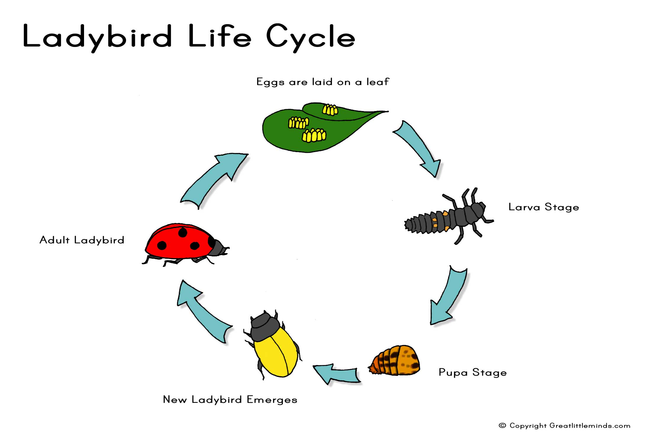 Ladybird life cycle a4g or click here for pooptronica Gallery